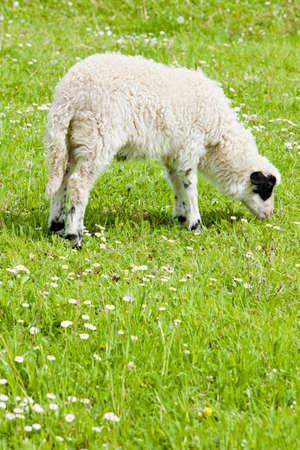 hercegovina: lamb on meadow, Bosnia and Hercegovina