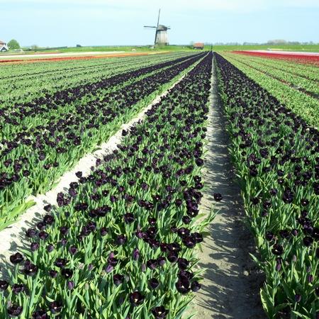 windmill with tulip field near Schermerhorn, Netherlands Stock Photo - 9027225