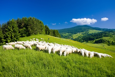 rebaños de ovejas, Mala Fatra, Eslovaquia