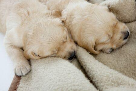sleeping puppies of golden retriever Stock Photo - 9089345