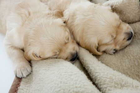 sleeping puppies of golden retriever Stock Photo - 9089345