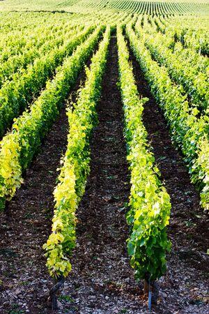 growers: vineyards near Gevrey-Chambertin, Cote de Nuits, Burgundy, France