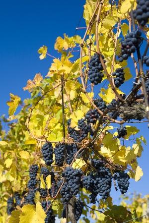 znojmo region: grapevines in vineyard Jecmeniste, Eko Hnizdo, Czech Republic Stock Photo