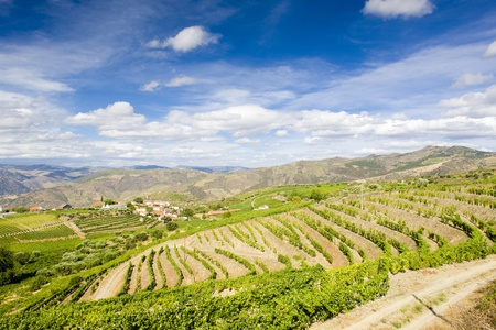 growers: vineyars in Douro Valley, Portugal