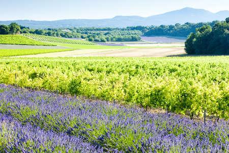 viniculture: lavender field with vineyards, Drome Department, Rhone-Alpes, France