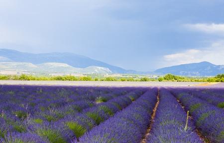 typical: lavender field, Plateau de Valensole, Provence, France Stock Photo