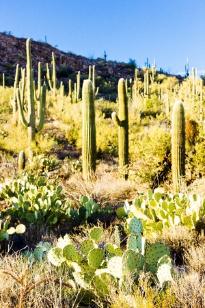 Saguaro National Park, Arizona, USA photo