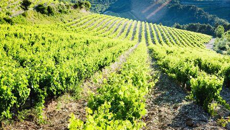 vineyards near Gigondas, Provence, France photo