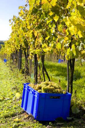 znojmo region: wine harvest, vineyard U svateho Urbana, Czech Republic