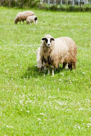bosna: pecore sul prato, Bosnia ed Erzegovina