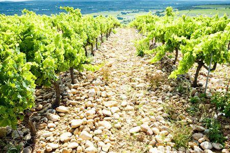 vineyards near Chateauneuf-du-Pape, Provence, France photo