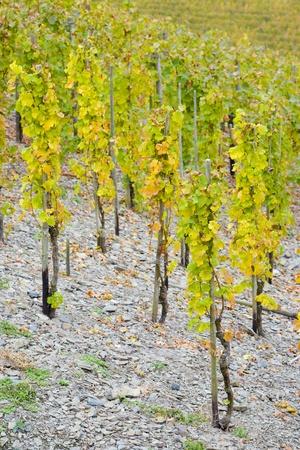 moseltal: vineyards near Pommern, Rheinland Pfalz, Germany Stock Photo