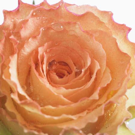 pink rose Stock Photo - 9744309