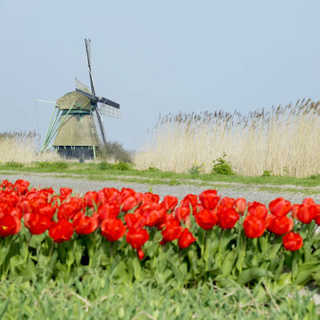 windmill with tulip field near Ooster Egalementsloot canal, Netherlands Stock Photo - 9744431