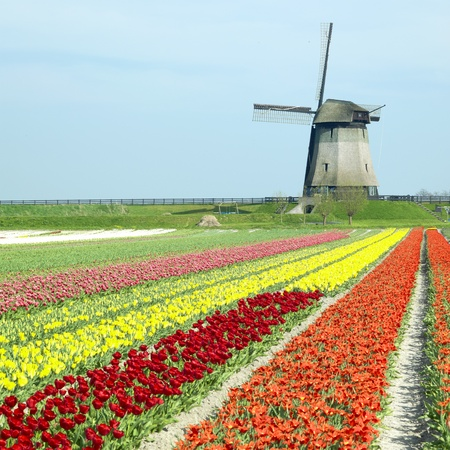field of flowers: windmill with tulip field near Schermerhorn, Netherlands