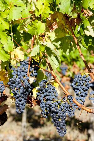 gironde department: blue grape in Bordeaux Region, Aquitaine, France
