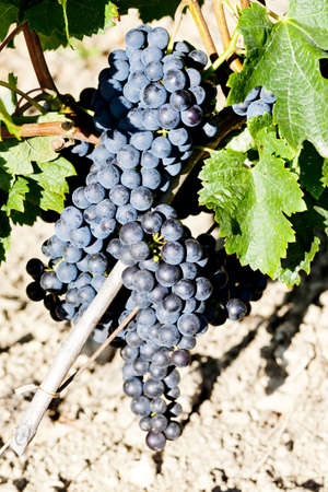 aquitaine: blue grape in Bordeaux Region, Aquitaine, France