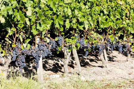 bordeaux region: vineyard with blue grapes in Bordeaux Region, Aquitaine, France