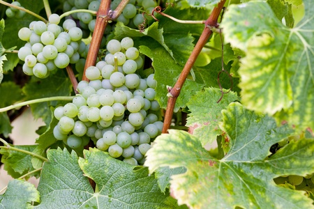 white grape in Sauternes Region, Aquitaine, France Stock Photo - 9749310