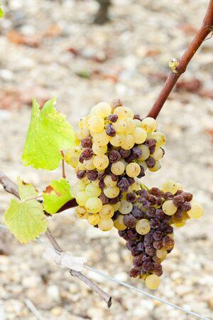 white grape in Sauternes Region, Aquitaine, France Stock Photo - 9748465