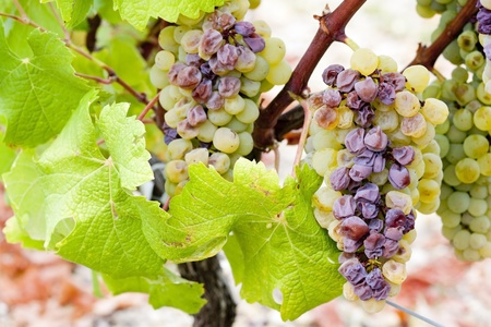 white grape in Sauternes Region, Aquitaine, France Stock Photo - 9751474