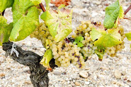 white grape in Sauternes Region, Aquitaine, France Stock Photo - 9744773