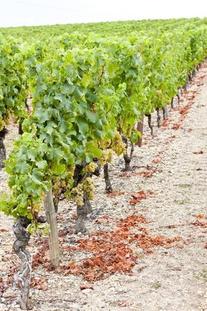 white grape in vineyard, Sauternes Region, Aquitaine, France Stock Photo - 9744771