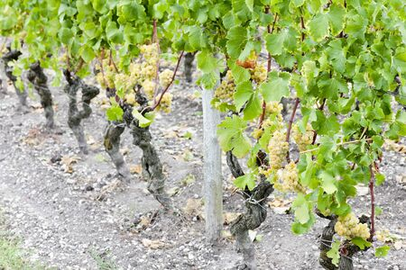 sauternes: white grape in vineyard, Sauternes Region, Aquitaine, France