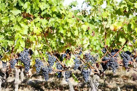 bordeaux region: blue grape in Bordeaux Region, Aquitaine, France
