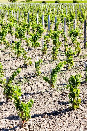 bordeaux region: vineyard, Bordeaux Region, France