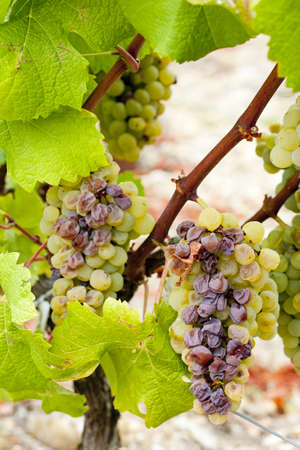 white grape in Sauternes Region, Aquitaine, France Stock Photo - 9860149