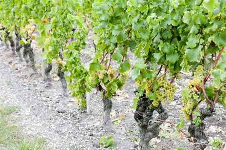 white grape in vineyard, Sauternes Region, Aquitaine, France Stock Photo - 9860978