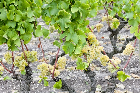 white grape in Sauternes Region, Aquitaine, France Stock Photo - 9861011