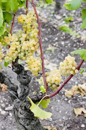 white grape in Sauternes Region, Aquitaine, France Stock Photo - 9860193
