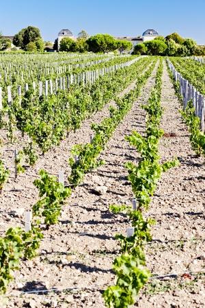 bordeaux region: vineyard and Chateau Calon-Segur, Saint-Estephe, Bordeaux Region, France