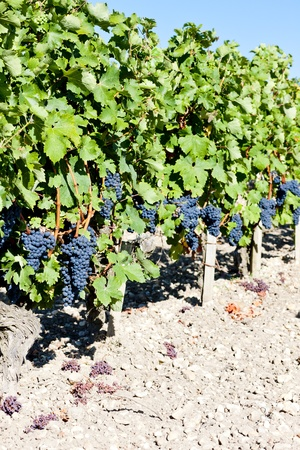 gironde department: vineyard with blue grapes in Bordeaux Region, Aquitaine, France