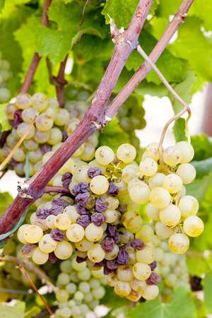 white grape in Sauternes Region, Aquitaine, France Stock Photo - 9863022