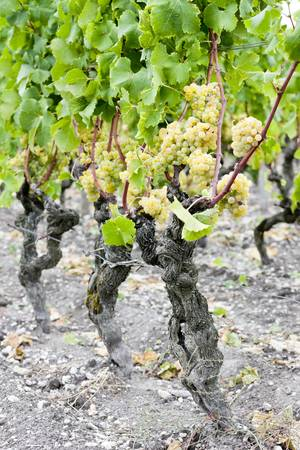 white grape in vineyard, Sauternes Region, Aquitaine, France Stock Photo - 9863138