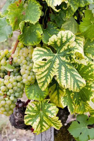 white grape in Sauternes Region, Aquitaine, France Stock Photo - 9862913
