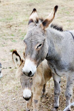 navarre: donkeys, Navarre, Spain