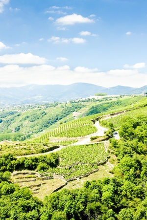 crus: vineyards of Cote Rotie, Rhone-Alpes, France