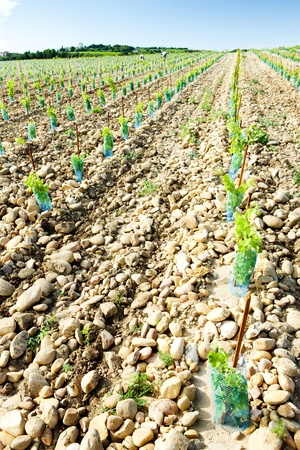 viniculture: vineyards near Chateauneuf-du-Pape, Provence, France
