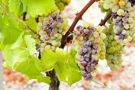 white grape in Sauternes Region, Aquitaine, France Stock Photo - 10421029
