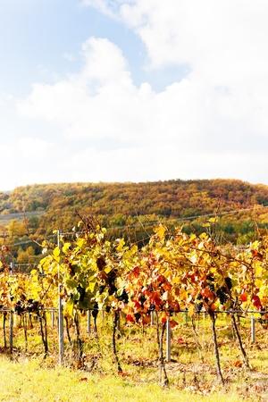 red grapes in vineyard, Czech Republic