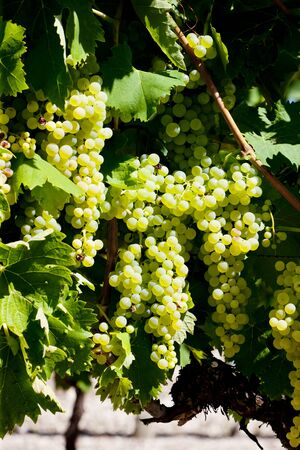 viniculture: white grape in Jarnac, Poitou-Charentes, France Stock Photo