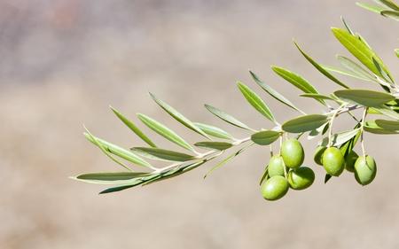 olive tree, Portugal Stock Photo - 10546423