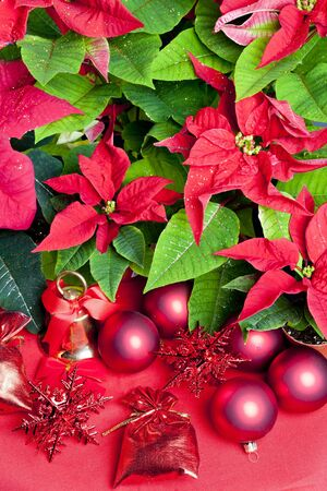 bell flower: Christmas still life with Poinsettia