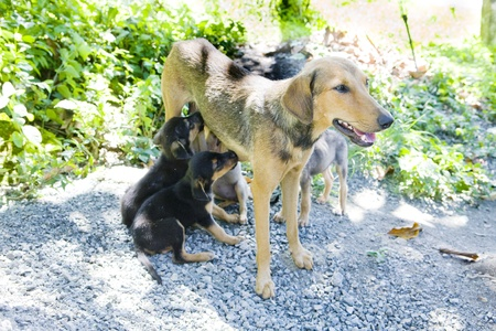 lactation: female dog with puppies, Tobago