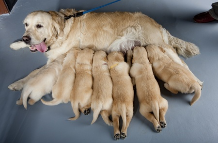 brood: female dog of golden retriever with puppies Stock Photo
