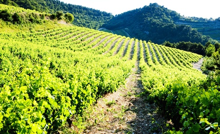vineyards near Gigondas, Provence, France photo